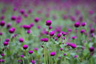 A Field of purple flowers so Divine