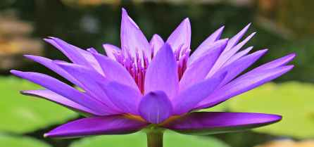 Lotus Flower has the most beautiful fragrance